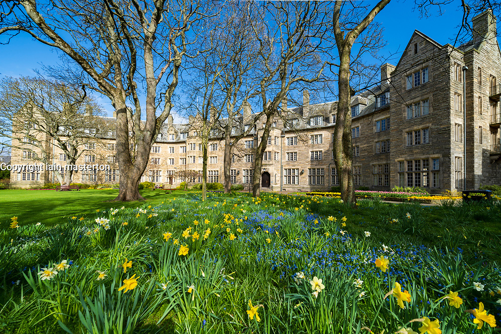 Spring daffodils in garden at St Salvator's Hall of residence , student accommodation, at St Andrews University, Fife, Scotland, UK