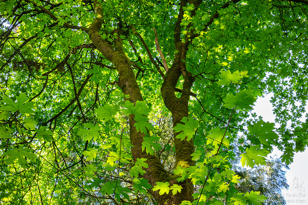 Several layers of leaves frame the trunk of an old maple tree in Hamlin Park, Shoreline, Washington.