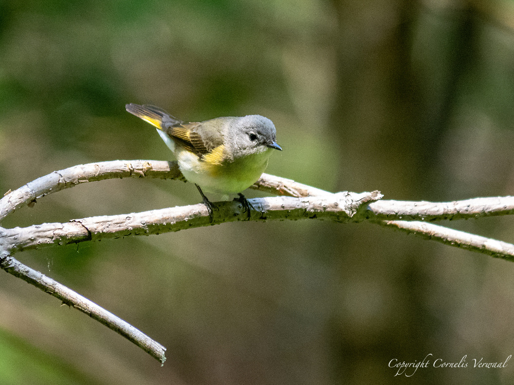 A female American Redstart in the Ravine of Central Park