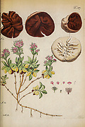 hand painted Botanical illustration of flower details leafs and plant from Miscellanea austriaca ad botanicam, chemiam, et historiam naturalem spectantia, cum figuris partim coloratis. Vol. II  by Nicolai Josephi Jacquin Published 1781. Figure 7