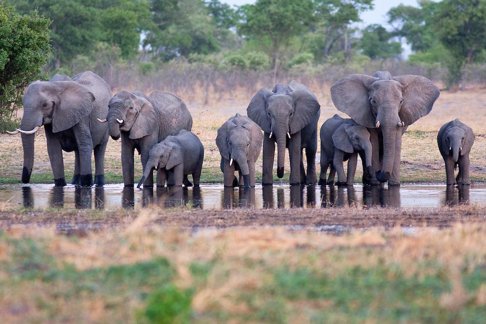 A famliy group breeding herd of elephants, drinking at a waterhole just after sunset.  Linyanti Wildlife Reserve, Botswana, 2008.