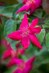 Rosa × odorata 'Bengal Crimson' AGM - Sanguinea Group