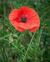 Red Poppy. Image taken with a Leica SL2 camera and 55-135 mm lens
