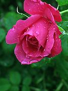 """"""" A Flower in Bloom """""""