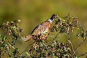 Ringneck pheasant male feeding on choke cherry in late summer