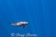 female pseudorca, or false killer whale, Pseudorca crassidens, off the North Kona Coast of Hawaii Island, Hawaiian Islands, U.S.A. ( Central Pacific Ocean )