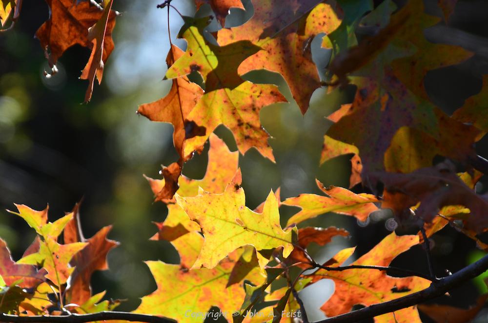 The sun gives these oak leaves a translucent appearance.  Hillsborough, NJ