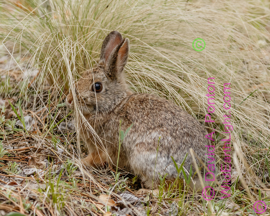 Mountain cottontail pauses next to a clump of wild grass, the grass contours matching the form of the rabbit, Jemez Mountains, NM, ©  David A. Ponton