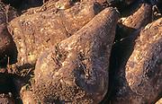 AYBP7B Sugar beet piled up after harvest close up