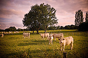 Cows graze throughout a green pasture in the countryside of France