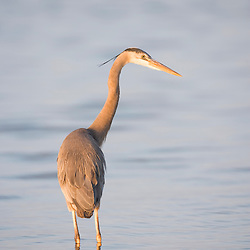 A great blue heron, Ardea herodias, on the causeway in Dunedin, Florida.