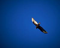 Turkey Vulture. Image taken with a Nikon Df camera and 80-400 mm VR lens
