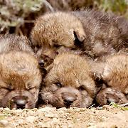 Gray Wolf, (Canis lupus) Pups. Spring. Montana.  Captive Animal.