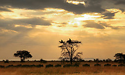 Herd of migrating Blue Wildebeest watched by Vultures in the tree, Grumeti, Tanzania, East Africa - RESERVED USE
