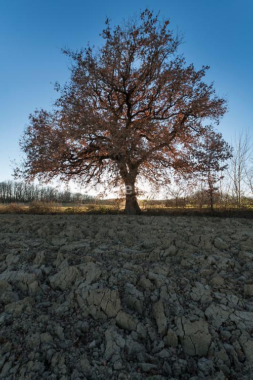 large oak tree in fading sunlight