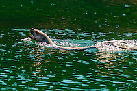 Sea lion in the 2000 foot deep (610 meters) Lynn Canal (the deepest fjord in North America), near Juneau, southeast Alaska USA.