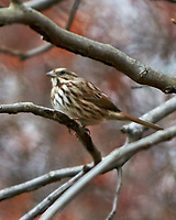Song Sparrow (Melospiza melodia). Image taken with a Nikon D300 camera and 70-200 mm f/2.8 VR lens.