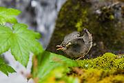 American Dipper at Bunch Creek Falls.  Lake Quinault Washington