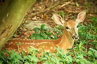 Fawn Hiding in the Woods. Summer Nature in New Jersey. Image taken with a Nikon D700 and 28-300 mm VR lens (ISO 1600, 300 mm, f/5.6, 1/25 sec).