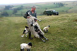 Dales farmer helping ewe to feed newborn lamb Yorkshire Dales UK