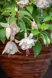 Fuchsia 'Annabelle' in a hanging basket.