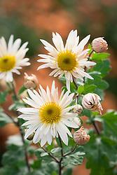 Chrysanthemum 'Elaine's Hardy White'