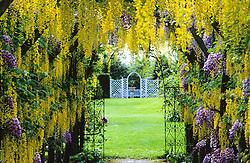 Laburnum and wisteria tunnel - Laburnum x watereri 'Vossii' and  Wisteria sinensis