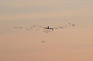 Nederland, Schiphol, 26 aug 2013<br /> Landende vliegtuigen en vlucht ganzen.<br /> Vliegtuig en ganzen lijken heel dicht bij elkaar, maar het valt mee. Niks gebeurt. Het vliegverkeer bij Schiphol heeft wel veel last van ganzen. Als een gans in een motor van een vliegtuig komt, geeft dat schade en is gevaarlijk. Ganzen zijn beschermde dieren en kunnen niet massaal worden afgeschoten.<br /> Foto(c): Michiel Wijnbergh