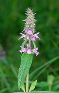 MARSH WOUNDWORT Stachys palustris (Lamiaceae) Height to 1m. Robust, non-smelling perennial with creeping stems and unbranched flowering stalks. Grows in damp ground in marshes, and beside ditches and rivers; occasionally found along the margins of damp arable field. FLOWERS are 12-15mm long and pinkish purple with white markings; borne in elegant, open spikes (Jun-Sep). FRUITS are nutlets. LEAVES are toothed, narrow-oblong, often heart-shaped at the base and mostly unstalked. STATUS-Widespread and locally common throughout the region.