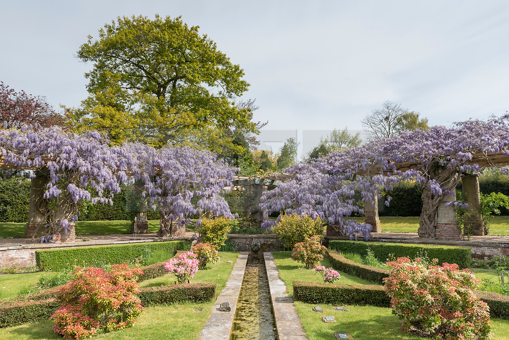 © Licensed to London News Pictures. 27/04/2017. Stoke Poges, UK. The wisteria pergola in Stoke Poges Memorial Gardens near Slough, Buckinghamshire, is currently in flower.  Photo credit : Stephen Chung/LNP