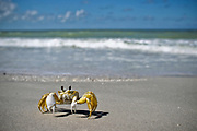 William DeShazer/Staff<br /> A crab makes its way along a clean beach after the 4th Annual Keewaydin Cleanup on Saturday Sep. 8, 2012.