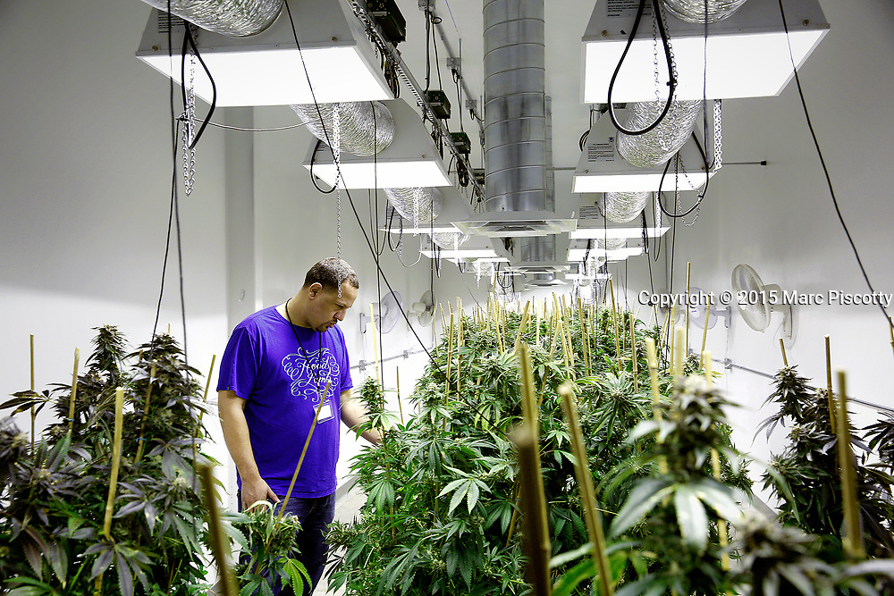 SHOT 3/28/15 2:08:04 PM - Viola Extracts Dan Pettigrew in a grow room amongst marijuana plants in Denver, Co. The company turns medical cannabis into shatter, wax or live resins. (Photo by Marc Piscotty / © 2015)