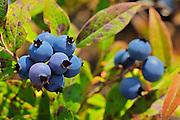 Blueberries (Vaccinium sp.)<br /> Ear Falls<br /> Ontario<br /> Canada