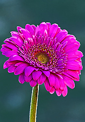 I think this is my favorite color of daisy, wanted to put a shot together that emphasized the parts I like the most :)<br /> <br /> The Asteraceae or Compositae (commonly referred to as the aster, daisy, or sunflower family), is an exceedingly large and widespread family of vascular plants.