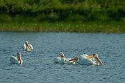 American white pelicans (Pelecanus erythrorhynchos) on English River<br />Ear Falls<br />Ontario<br />Canada