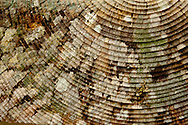 The lichen array on the rings of a tree cross section.