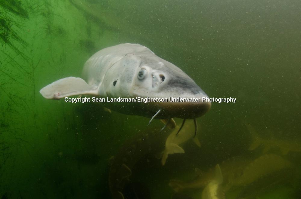Shortnose Sturgeon<br /> <br /> Sean Landsman/Engbretson Underwater Photography