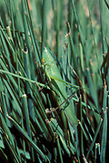Conehead Grasshopper, resting on blade of grass,