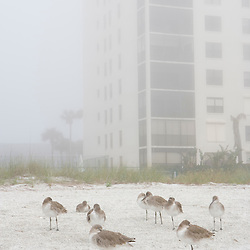 Willets, Catoptrophorus semipalmatas, share the beach with condos in Indian Rocks Beach, Florida.