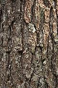 Lichens on a Western Hemlock trunk.