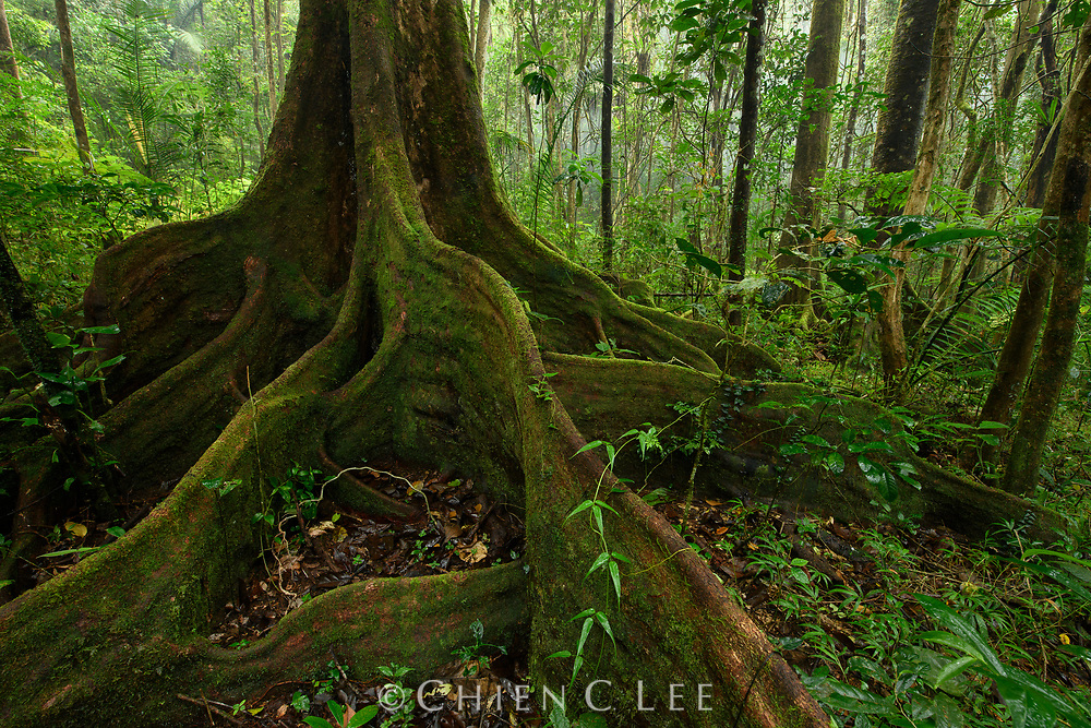 Tree in lowland rainforest showing buttress roots. Ranomafana National Park, Madagascar.