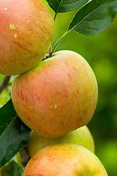 Apple 'Cox's Orange Pippin' - Malus