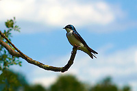 Tree Swallow Watching its Nest. Sourland Mountain Nature Preserve in New Jersey. Image taken with a Nikon 1 V1 camera and 85 mm f/1.4G lens with FT1 adapter (ISO 100, 85 mm, f/4, 1/2500 sec). FOV  equiv to 230 mm on a 35 mm camera body.