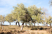 Cork oak trees in Sierra de Aracena, Huelva province, Spain