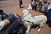 Nederland, Nijmegen, 18-7-2011Een hulphond die onder andere in staat is te waarschuwen bij epilepsie aanvallen. Foto: Flip Franssen