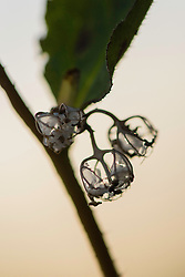 Ruig klokje, Campanula trachelium