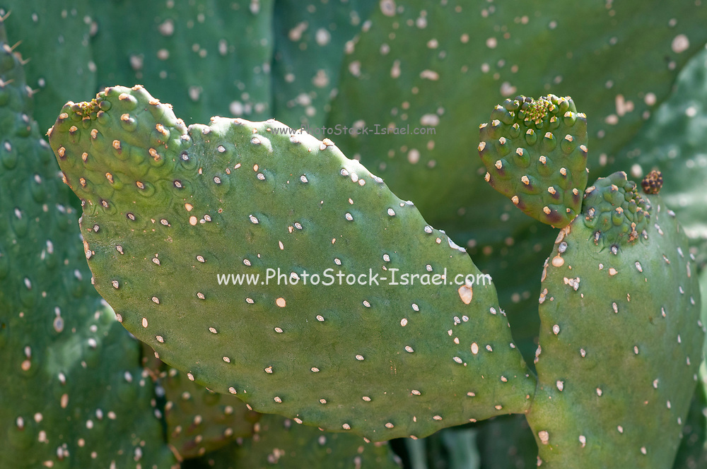 Opuntia, commonly called prickly pear, is a genus in the cactus family, Cactaceae photographed in a Cactus and succulent garden Photographed in Tel Aviv, Israel in May