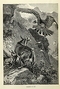 Chamois at Bay. The chamois (Rupicapra rupicapra) is a species of goat-antelope native to mountains in Europe, From the book ' Royal Natural History ' Volume 2 Edited by Richard Lydekker, Published in London by Frederick Warne & Co in 1893-1894