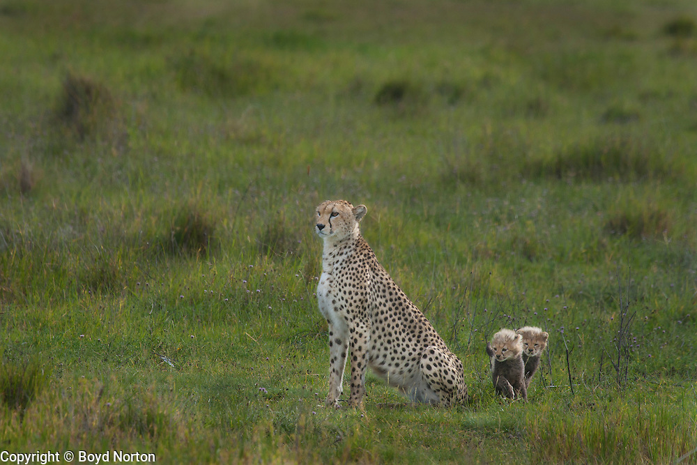 Cheetah with two month old  young, Serengeti National Park, Tanzania.