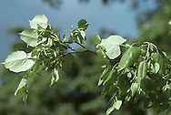WEEPING SILVER LIME